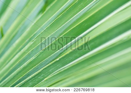 Blurred Abstract Botanical Background Palm Tree Striped Leaf With Geometrical Pattern. Natural Soft