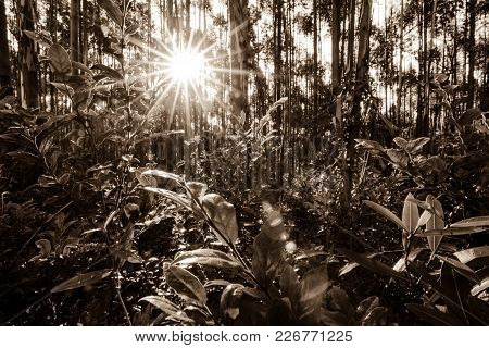 A Dense Forest Landscape Scene Seen In Sepia With The Setting Sun Seeping Through The Trees