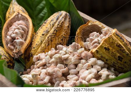 Raw Cocoa Beans And Cocoa Pod On A Wooden Surface