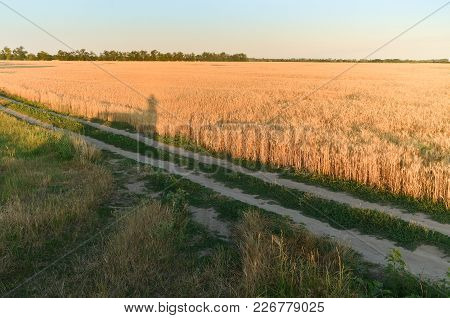 The Road Is Trampled Through The Field. Golden Ears Of Wheat Under A Blue Sky And Bright Sun