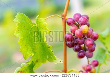 A Bunch Of Black Grapes For Making Wine In Thailand. Fresh Grapes That Have Not Yet Ripened. Green,