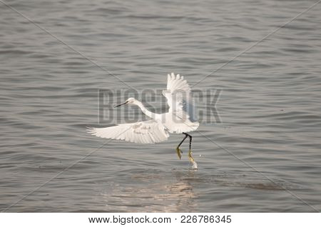 The Garzetta Is The Little Egret Aquatic Bird.  Ronchi Near Lazise, Lake Garda, Verona