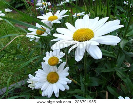 Daisy Blossom Close Up, White Flowers In Garden, Summer Flowers Group
