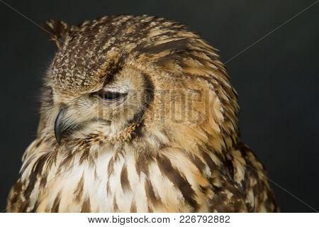 Photo Portrait Of A Beautiful Eagle Owl