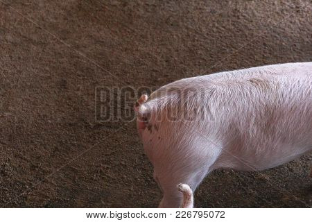 Piglet In The Cage At The Pig Farm