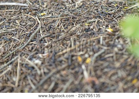 Anthill And Ants Shot Close-up Macro Photography In The Forest