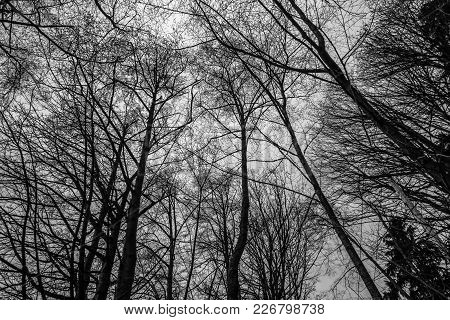 A View From Beneath Bare Winter Trees In The Pacific Northwest.