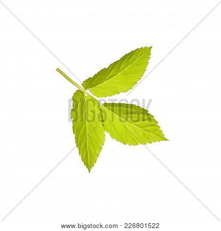 Leaf. Green. Spring. Isolated On White Background. For Your Design.