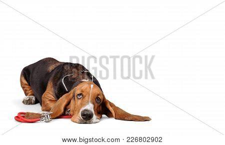 Dog Hound Basset White Background Shot Studio