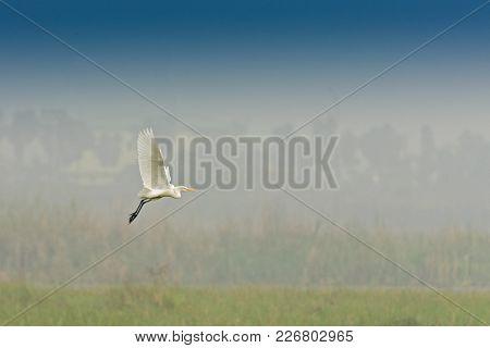 Bird - Median Egret , Egretta Intermedia Flying In Sky