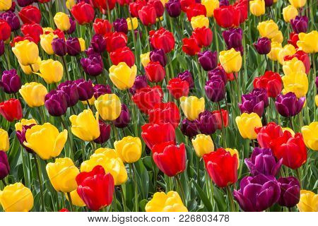 Frame Filled With Tulips In A Variety Of Colors.  Floral Pattern. Background. Abstract.