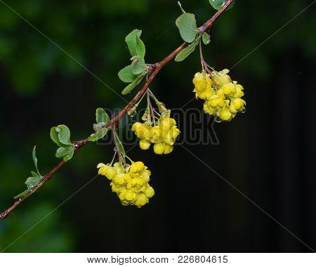 Yellow Flowers Clusters On Blooming Common Or European Barberry, Berberis Vulgaris, Macro With Raind