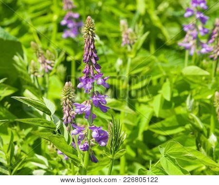 Blooming Fodder Or Eastern Galega, Galega Orientalis, In Wild Close-up, Selective Focus, Shallow Dof