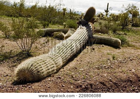 A Giant Saguaro Cactus Toppled Over By The High Winds Of An Arizona Monsoon Storm From The Night Bef