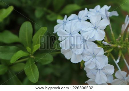 Plumbago Auriculata (common Names Blue Plumbago, Cape Plumbago Or Cape Leadwort)  Is A Species Of Fl