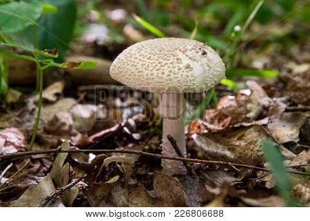 Macrolepiota Procera Or Lepiota Procera In The Forest. .