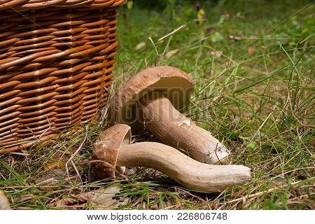 Several Porcini Mushrooms (boletus Edulis, Cep, Penny Bun, Porcino Or King Bolete) And Wicker Basket