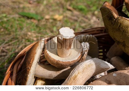 Porcini Mushrooms (boletus Edulis, Cep, Penny Bun, Porcino Or King Bolete) In The Wicker Basket On N