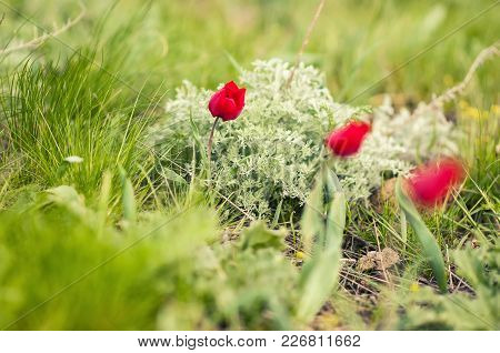 Schrenck's Tulips, Tulipa, In The Steppe, Rostov State Atmospheric Reserve, Russia