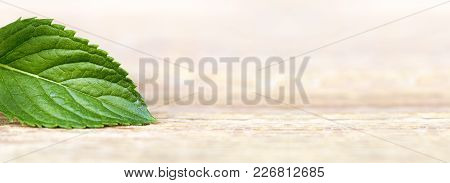 Healthy Green Mint Leaf - Web Banner Of Herbal Concept, With Blank, Copy Space