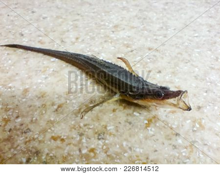 Fish Needle. Thin Fish In The Black Sea