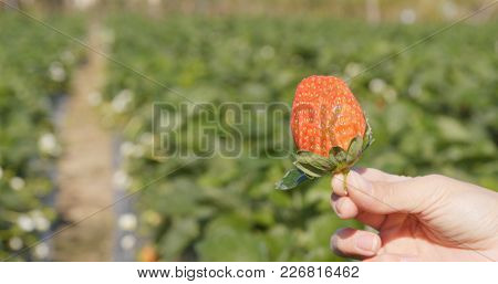 Holding one strawberry in the field