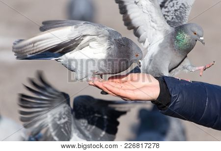 Pigeon On The Hand On Nature . In The Park In Nature