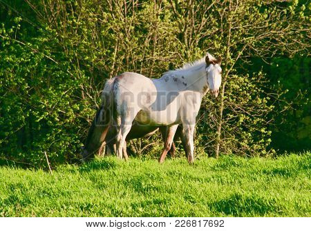 A White Appaloosa Horse Stands In A Green Grassy Field.
