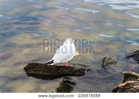 Seagull Stands On A Ledge Of A Stone In The Vltava River In Prague. Close-up