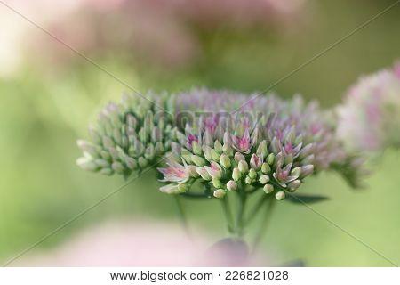 Closeup Small Flowers. Sedum Prominent (sedum Spectabile). Ornamental Garden Plants. Flowering Perio