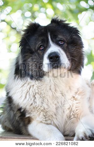 Caucasian Shepherd, A Large Guard Dog. Fluffy Caucasian Shepherd Dog Is Lying On A Green Grass