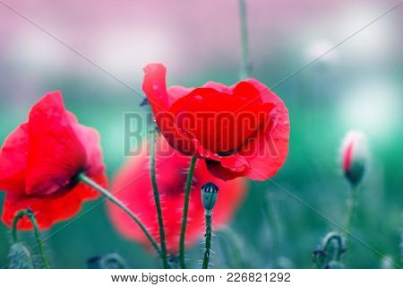 Red Poppy On Green Weeds Field. Poppy Flowers.close Up Poppy Head. Red Poppy. Papaver Rhoeas