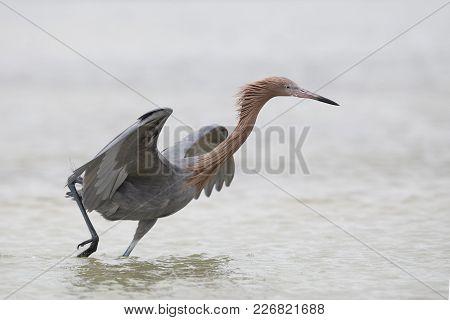 A Reddish Egret (egretta Rufescens) Dances As It Stalks A Fish - Pinellas County, Florida