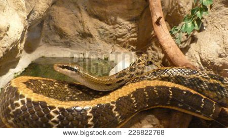A Large, Large Snake Resting: On The Nature Of The Old Stones Among The Green Foliage. Modern, Close