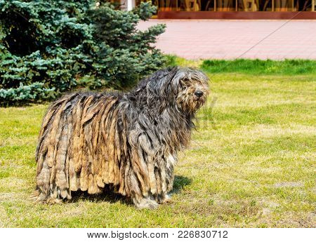 Bergamasco Shepherd In Profile. The Bergamasco Shepherd Stands On The Green Grass In The Park.