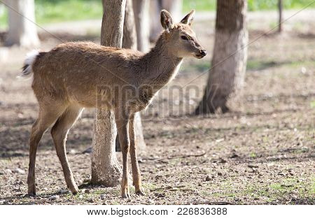 Young Female Deer In A Park On The Nature .