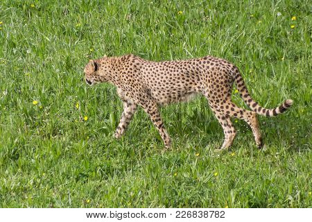 Cheetah, Of The Feline Family. It Is The Fastest Terrestrial Mammal In The World.