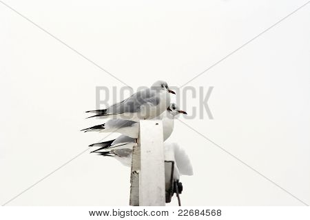 Gulls On The Roost