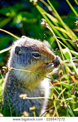 Ground Squirrel Eating Seeds From Grass In Morning Light