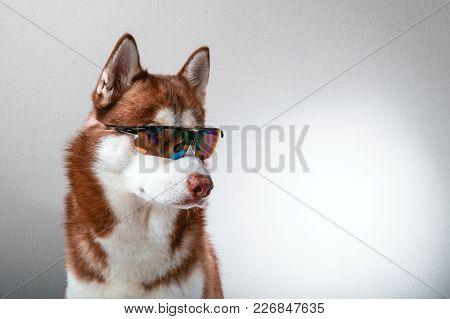 Husky Dog In Ski Goggles. Portrait Red Siberian Husky In Sunglasses.