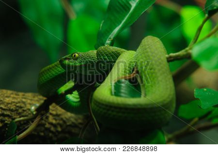 Green Snake Is A Wildlife In Tropical Forest