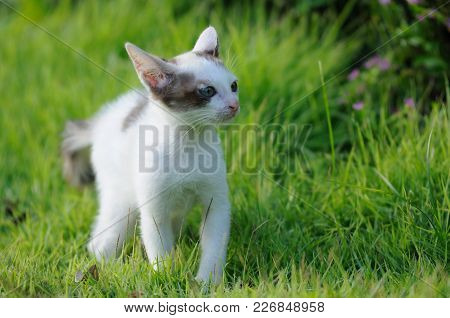 Be Frightened White Cat On Green Field. Color Photo Shoot With Natural Light.