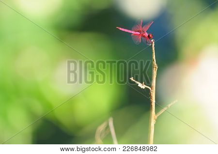 Red Dragonfly Conspicuous Wings Are Held Flat  With Green Background. They Are Symbols Of Courage, S
