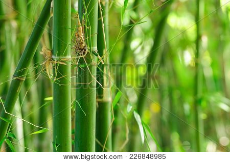 Green Bamboo With Forest Background. Bamboo Is Fastest-growing Plants And Have Rhizome-dependent Sys