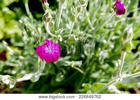 Bright Cerise Bloom Of Lychnis Coronaria, Also Known As Rose Campion, Glows In The Morning Sun.