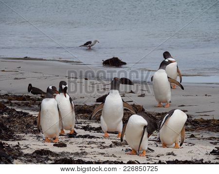 A Group Of Gentoo Penguins Standing On The Beach. Some Are Preening. Others Are Standing And Facing