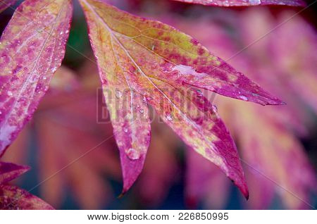 The Red Autumn Leaves Of A Peony Are Shown In Detail With Drops Of Rain  Clinging To Them In The Dim