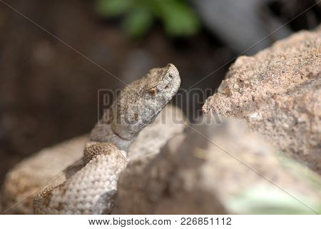 A New Mexico Ridge-nosed Rattlesnake As Seen Camoflouged Next To Rocks.