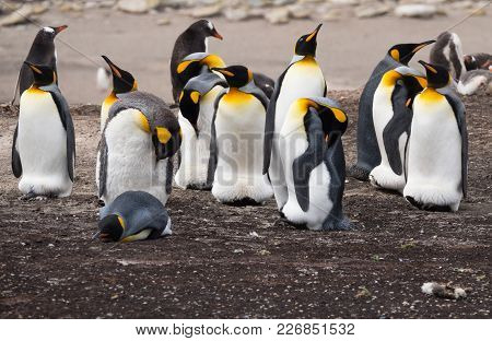A Group Of King Penguins Standing On The Beach. One Is Lying Down. Some Are Preening And Others Are