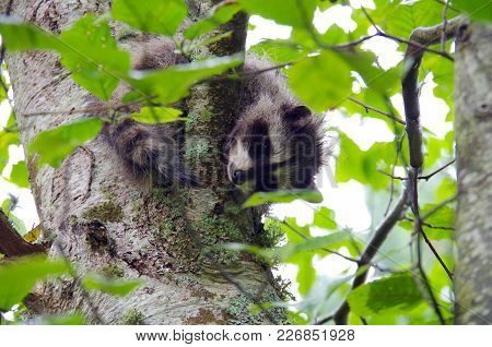 Young Racoon In An Alder Tree Looks Down Through The Leaves On Portland Island, British Columbia.